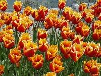 tulipán2