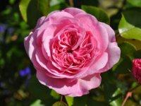 rose-856167_1280